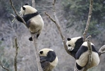 Pandas / by Terra Yoshida
