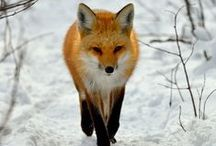 fox / I love any animals... :)