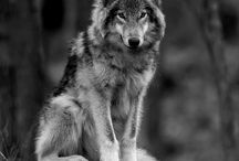 Wolves / My favourite animal. Anything relating to the majestic wolf.