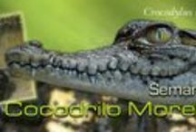 Cocodrilo Moreletii / Cocodrilo Moreletii (Crocodylus moreletii)  PARA MAYOR INFORMACIÓN: http://mexifauna.blogspot.mx/2014/07/cocodrilo-moreletii-crocodylus-moreletii.html