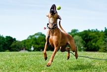 ridgeback play time / ...these ridgebacks absolutely love to have fun...love to run...love to play...love to be with you...love life...