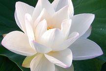 Flores - LOTUS  flor
