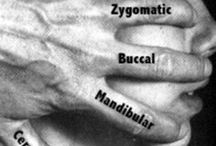 anatomie clinique/anatomy / Les zones anatomiques à travailler en massage/body anatomy useful for massage