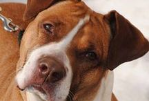 THAT'S OUR DIXIE!!!! / I've got a little cute Boxer - Pitbull named Dixie so I made this board for her