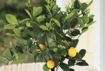 Love | Lemon