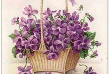 Violets - fialky