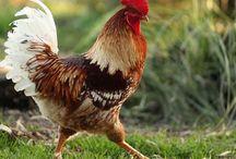 Hobby | Chickens