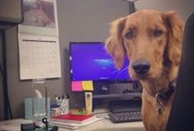 Pets Best Office Pets / Get an inside look at the dogs roaming around the Pets Best offices. Often times referred to as the Pets Best assistants, they actually run the show! / by Pets Best Pet Insurance Services, LLC.