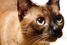Cat Breeds / Cats come in all shapes and sizes, so Pets Best is here to help determine what breed is best for your family! Celebrating cats by sharing a wide variety of feline facts, you'll learn about appearance, behavior, and common breed illnesses.  / by Pets Best Pet Insurance Services, LLC.