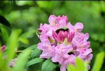Rhododendron Season at Edwards Gardens