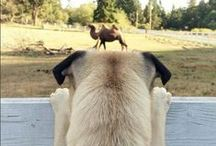 pugs and cute animals