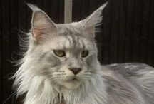 I'm a maine coon-junkie / Maine coons,  everywhere