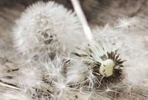 ~ Dandelion Wishes ~