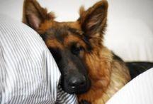 Deutscher Shäferhund ✔️✔️✔️