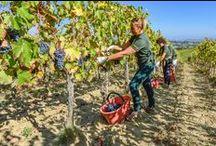 ICARIO Vineyard / ICARIO Winery, Montepulciano, Vino Nobile, Rosso, Grapes, Vineyard, Italy, Wine