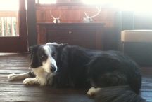 Collies / Great and cute collie dogs
