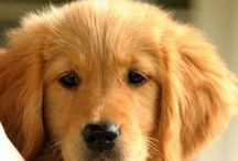 Golden Retriever / Golden Retriever http://www.rosyandrocky.com/