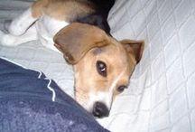 laura ma beagle