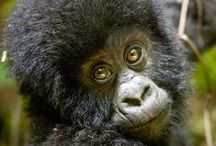 Uganda and Rwanda Gorilla Safari / Safaris in Uganda are an intoxicating affair with a greater diversity of animals, people and landscapes than any other African destination.