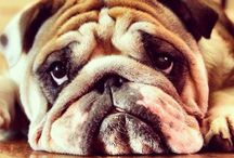 Dogone! / Bulldogs are the Best!