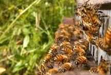 abeilles - apiculture / Abeilles, apiculture , beekeeping, ruches , miel