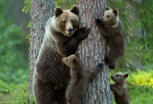 Wildlife: Bears, red pandas, koala bears  (ᵔᴥᵔ)  / by Kircha * 1
