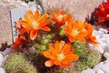 Cactus et plantes grasses en fleur