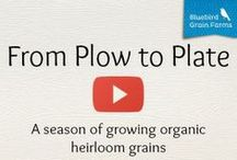 """From Plow to Plate / Follow Sam Lucy through a season of growing Bluebird Grain Farms' Emmer Farro. """"From Plow to Plate"""" is a unique opportunity to see just how an organic heirloom grain is sown, grown, harvested, cured and milled to order.  Start with Episode One."""