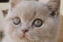 Elton John / Meu filhotinho British Shorthair