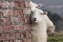 Sheepies and Fiber Friends / Sheep, alpacas, goats and critters with fleeces loved by knitters & spinners