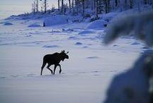 Zwierzęta w Skandynawii - Animals in Scandinavia