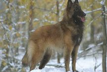 Dogs / when i created this board i was looking for collecting Belgian Tervuren pins, then i realize there are other boards for dogs which has been abused by owners or by humans. I pin as far as every issue i found  If u wanna pin let me know, to make the awareness level higher!!!