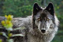 Loups / Les loups m'inspirent à la fois l'agressivité, la rage, un côté ténébreux mais aussi une tendresse, une source de protection et une beauté animale. Ici, en image !