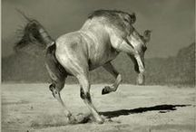Chevaux libres / Les chevaux : une majesté, une liberté, une force, une fougue...