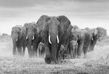 Les animaux africains contemplent le monde / Eléphants, girafes et lions endormis... Chut...
