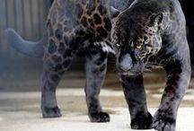 Les animaux hybrides étonneront toujours