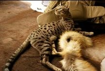 Savannah cat Zack / In this site you will find pictures of my cat Zack and what adventures we make together