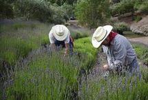 Harvest / Napa Valley Organic Lavender Harvest