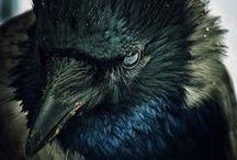 Corbeau mon beau corbeau...