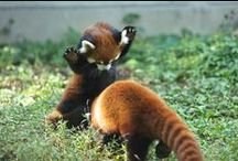Animal References | Red Panda