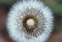 Pitypang....Dandelion