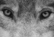 Lobo / Lobo