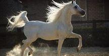 horses - arab