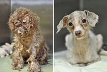 Rescued animals - Before and after / These pics are touching and terrible. They give you smile and tears at the same time. The before -photos are not rare. So many dogs, cats, horses and other animals suffer all around the world. Only we can help the ones that would not be hurt without us. Please take your pet from shelter, there are so many loving, playful, sweet animals, only thing they need is love and a big hug.