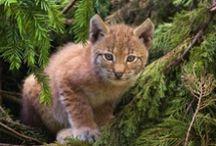 Wildcats, felines / by Fazer-Karkki
