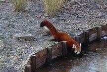 rode panda / Omdat ik dit zo'n leuk dier vind.