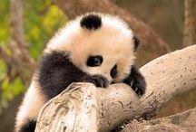 reuzenpanda / mijn lievelingsdier