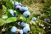 Berries! / Berry picking and berry recipes :)