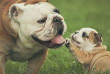 Bulldogss