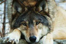 Wolf's<3